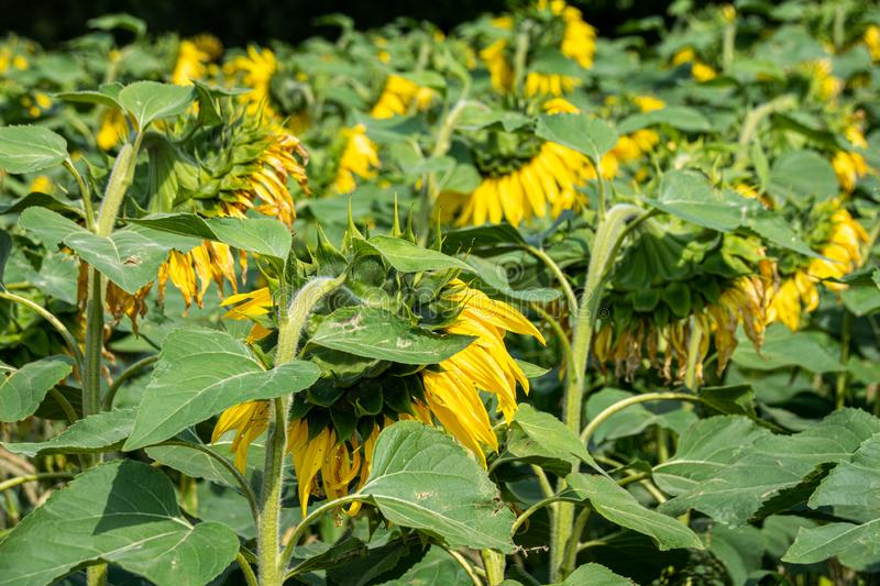 At the end of the season, sunflowers with heads bowed. At the end of the season, sunflowers with heads looking away stock image
