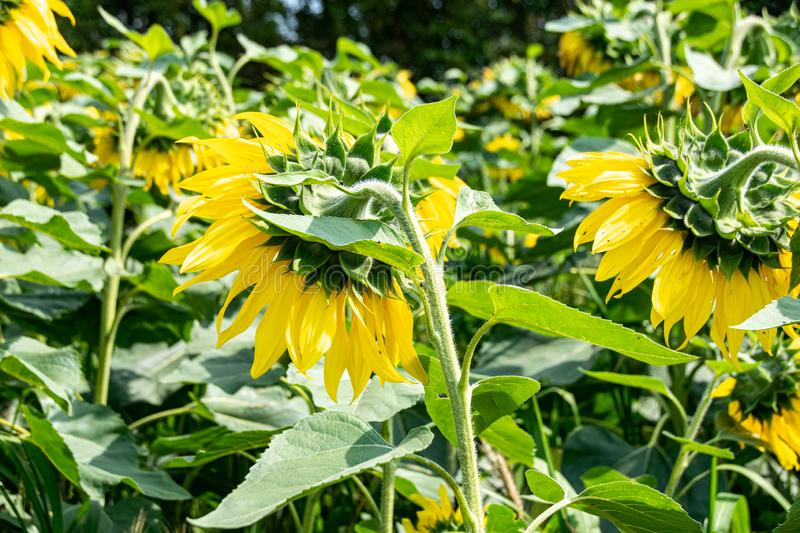 At the end of the season, sunflowers with heads bowed. At the end of the season, sunflowers with heads looking away royalty free stock photos