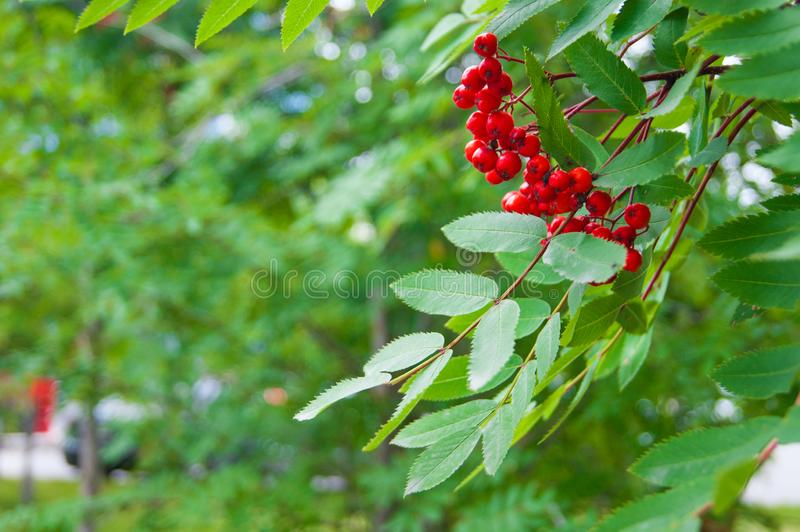 The end of summer or the beginning of autumn - leaves and grass are still green bright red rowan berries stand out against their stock images