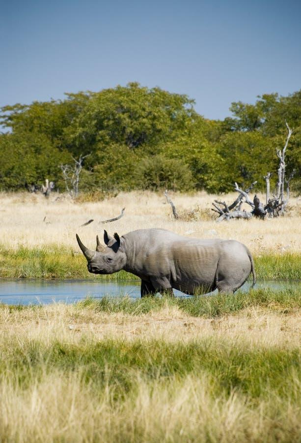 Download Endangered African Black Rhino Stock Photo - Image of etosha, water: 14892832