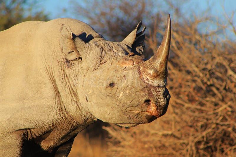 Download Endangered African Black Rhino Stock Image - Image: 26085327