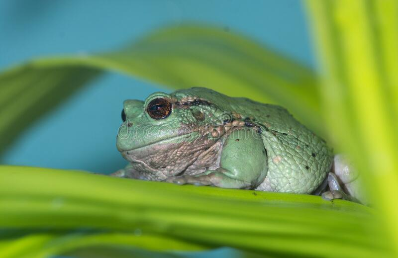 Andean marsupial frog 3. An endangered andean marsupial tree frog rests on a broad leaf royalty free stock images
