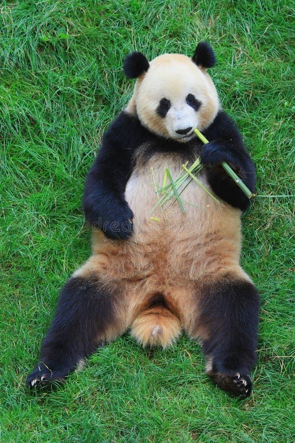 Endangered animal Panda royalty free stock photo