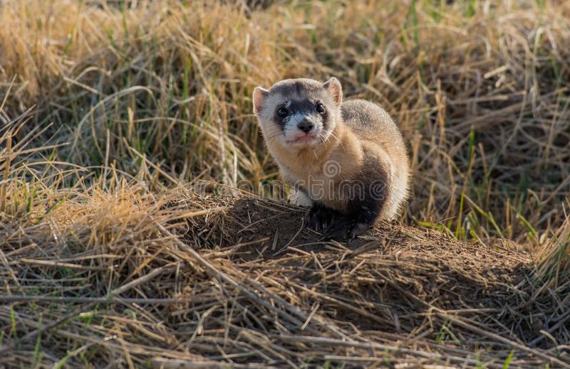 An Endangered Black-footed Ferret with an Annoyed Look. A Black-footed Ferret on the Prairie in Colorado stock photography
