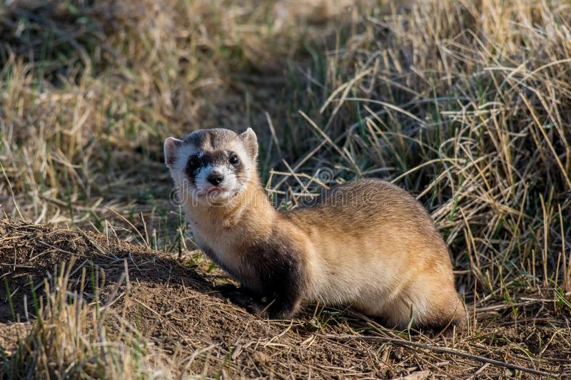 An Endangered Black-footed Ferret with a Curious Look. A Black-footed Ferret on the Prairie in Colorado stock photography