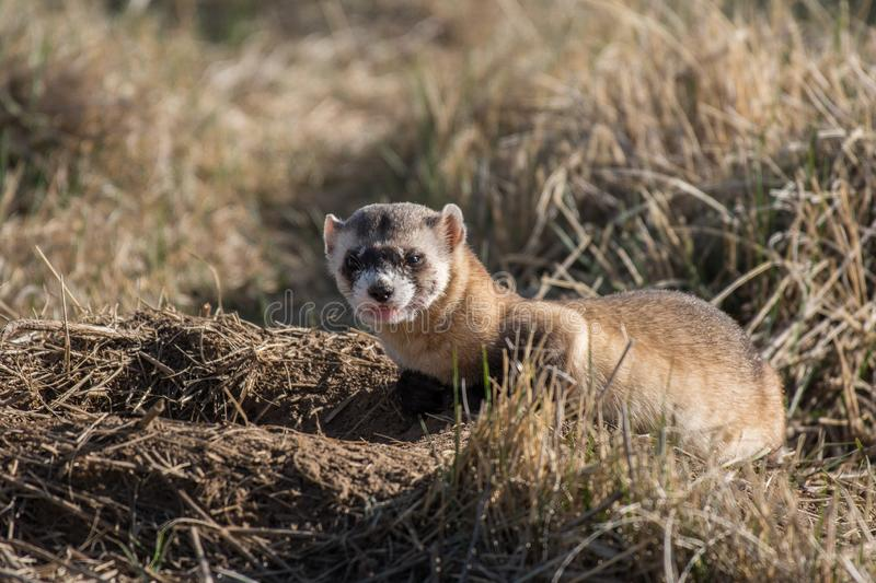 An Endangered Black-footed Ferret Sneering. An Amazing Black-footed Ferret Showing its Disapproval of Human Presence While Hunting Prairie Dogs on the Plains of stock images