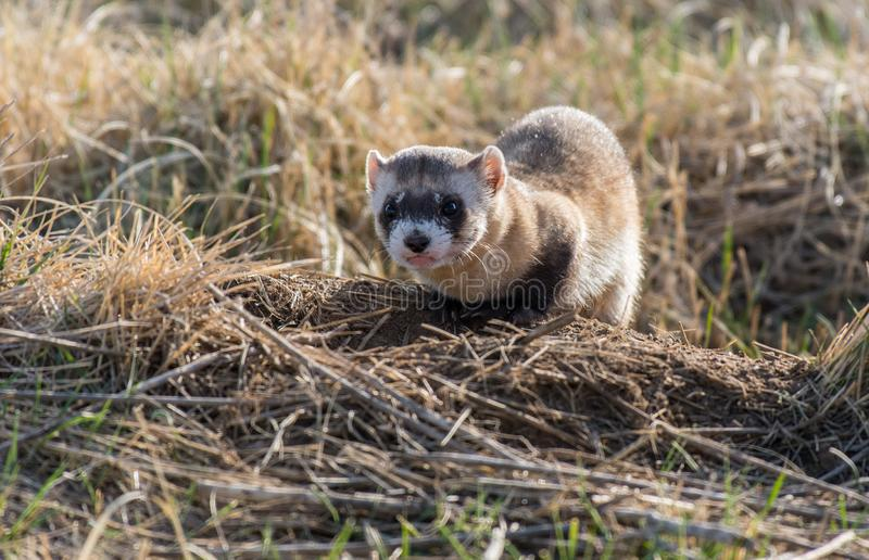 An Endangered Black-footed Ferret Sneering. An Amazing Black-footed Ferret Showing its Disapproval of Human Presence While Hunting Prairie Dogs on the Plains of stock photo