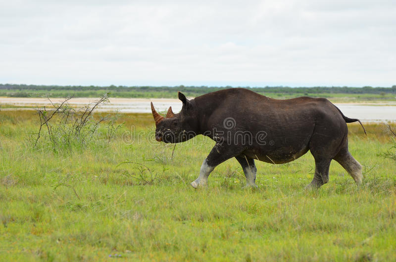 Endangered black rhino. An endangered black rhino walks by in Etosha National Park in Namibia royalty free stock photos