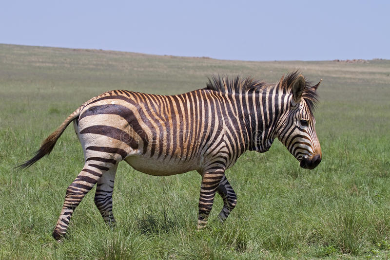 Endangered Cape Mountain Zebra stock photography