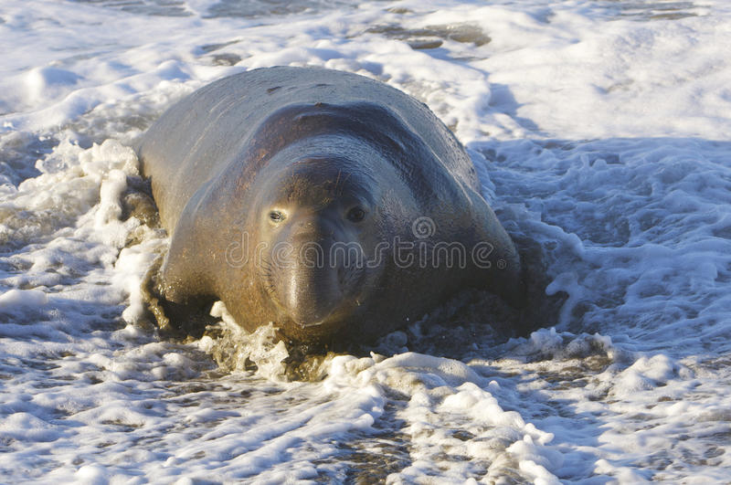 Endangered Elephant Seal Royalty Free Stock Image