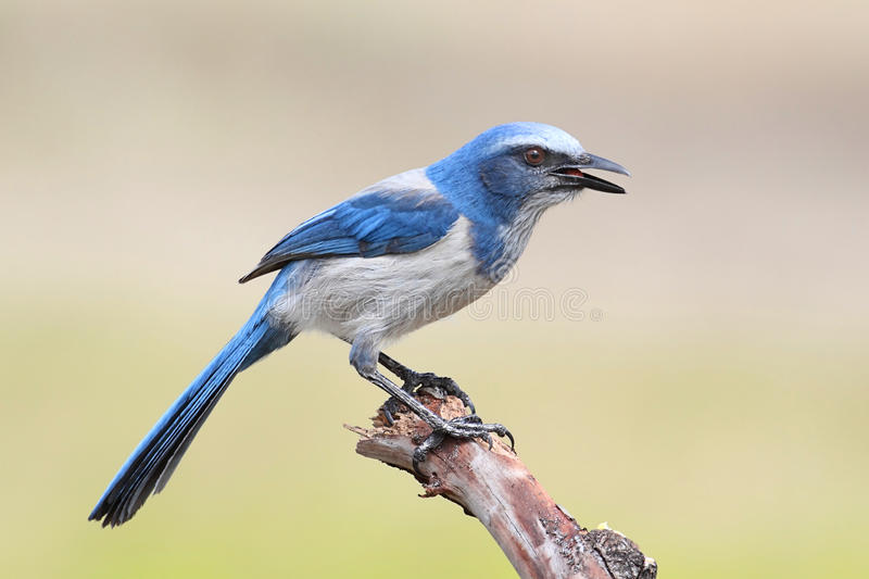 Endangered Florida Scrub-Jay royalty free stock images