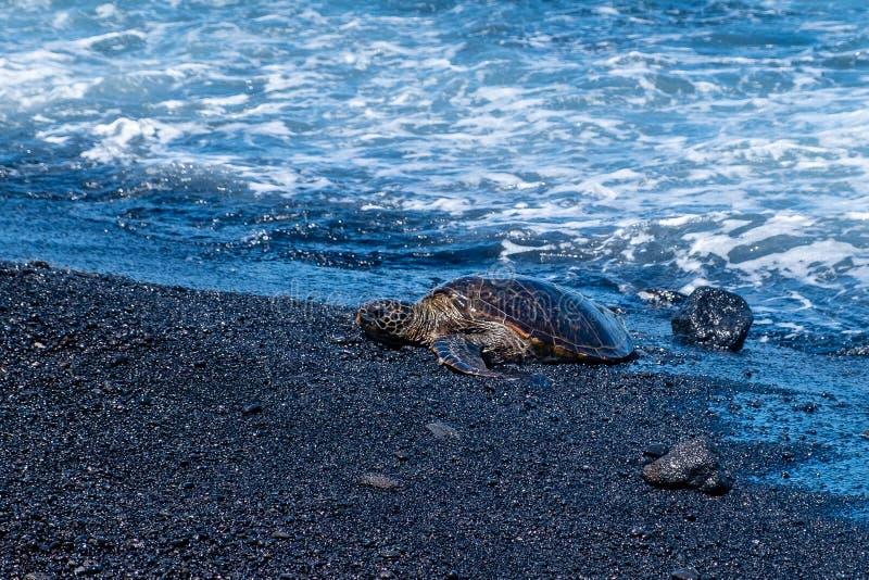 Green sea turtle Chelonia mydas, Hawaii. This endangered green sea turtle Chelonia mydas was on the Punalu'u Black Sand Beach on the big island of Hawaii royalty free stock images