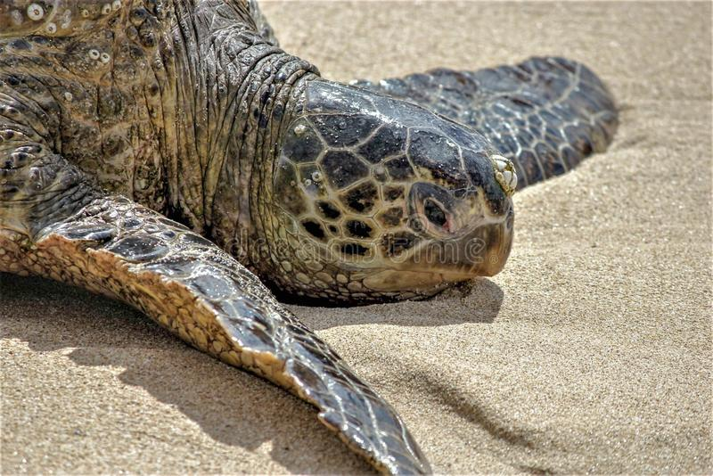 Hawaiian Green Sea Turtle Oahu, Hawaii royalty free stock images