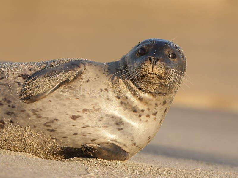Endangered Harbor Seal royalty free stock image