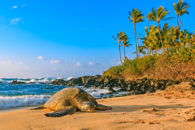 Endangered Hawaiian Green Sea Turtle on the sandy beach at North. Endangered Hawaiian Green Sea Turtle resting on the sandy beach at North Shore, Oahu, Hawaii royalty free stock photo