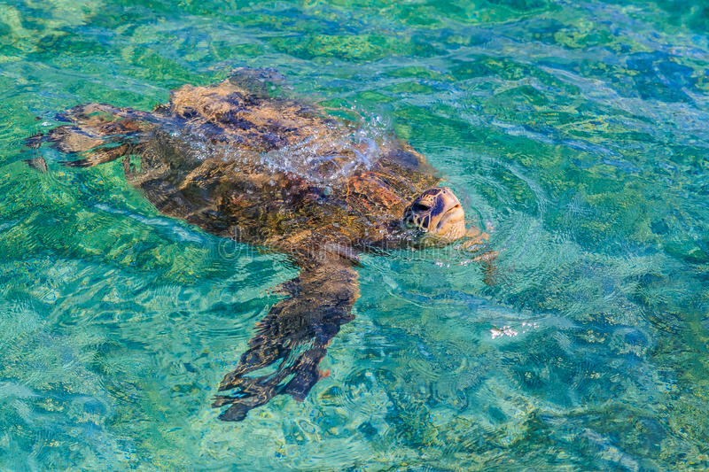 Endangered Hawaiian Green Sea Turtle swimming in the Pacific Ocean royalty free stock photos