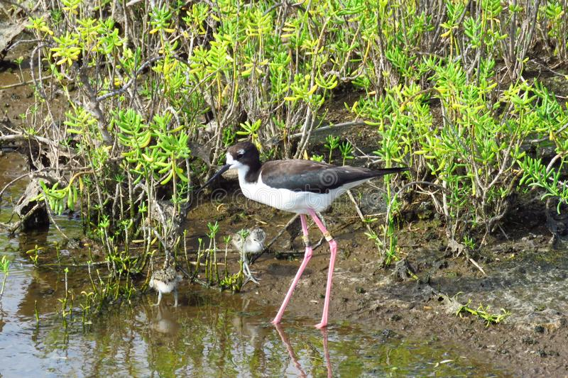 Hawaiian stilt water bird with chicks, Kealia Coastal Boardwalk, Maui, Hawaii. Endangered Hawaiian stilt Himantopus mexicanus knudsen with bird youngs. It is a royalty free stock photography