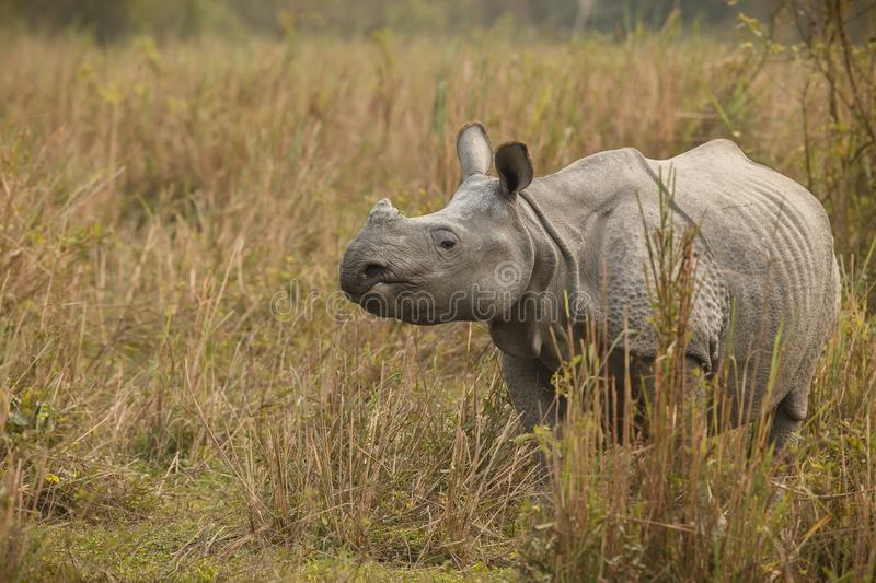 Endangered indian rhinoceros in the nature habitat royalty free stock images