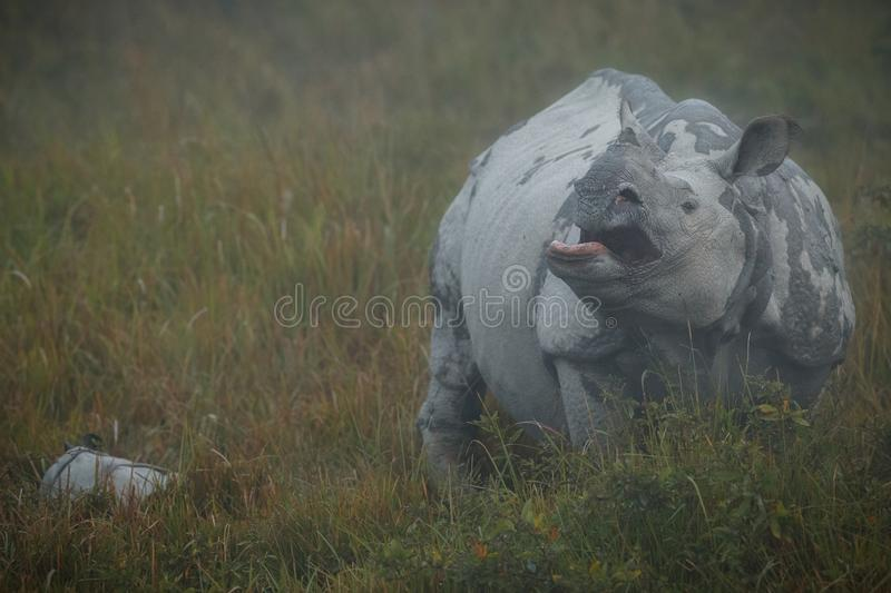 Endangered indian rhinoceros in the nature habitat royalty free stock photos