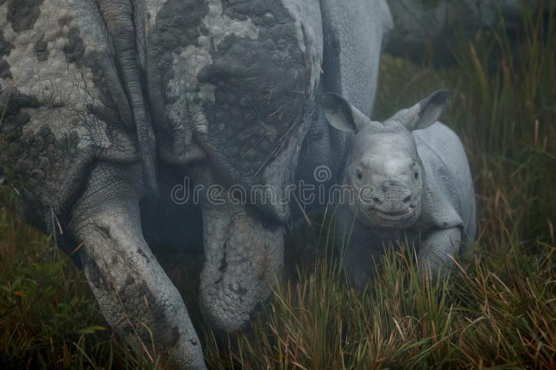 Endangered indian rhinoceros in the nature habitat royalty free stock image