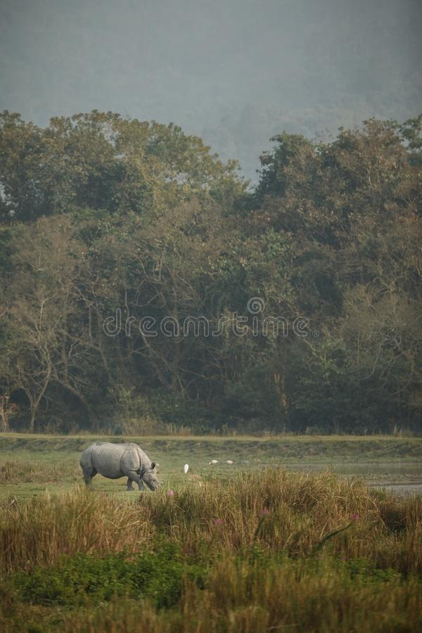 Endangered indian rhinoceros in the nature habitat stock image