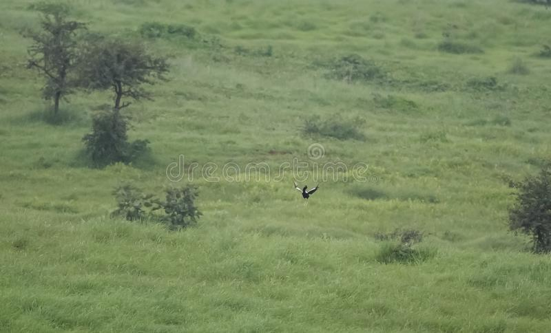 Endangered Lesser Florican and its grassland habitat. In Central India, Madhya Pradesh royalty free stock photo