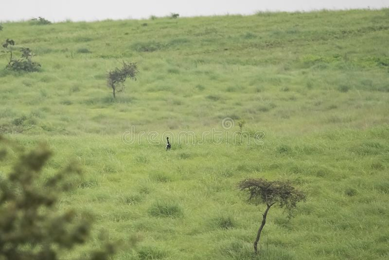 Endangered Lesser Florican and its grassland habitat. In Central India, Madhya Pradesh stock photography