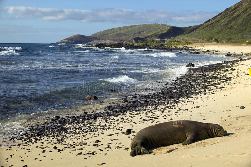 Endangered Monk Seal, Oahu Hawaii royalty free stock images