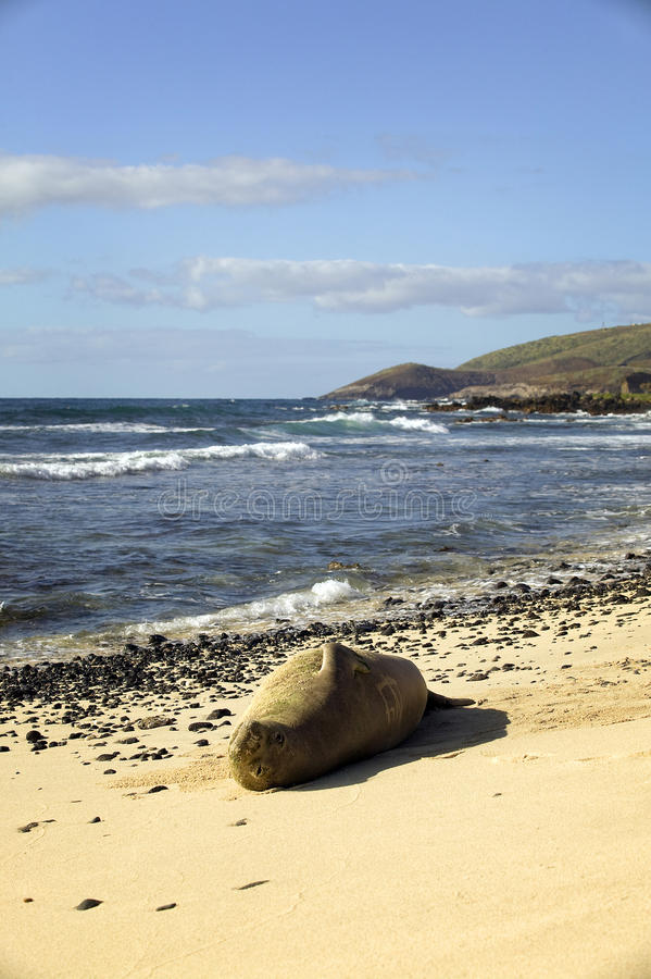Download Endangered Monk Seal, Oahu Hawaii Stock Photo - Image: 14457324