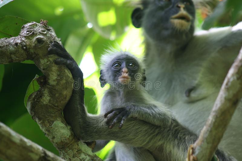 Endangered monkey red colobus Piliocolobus, Procolobus kirkii mother and baby sitting together in the trees of Jozani Forest royalty free stock photos