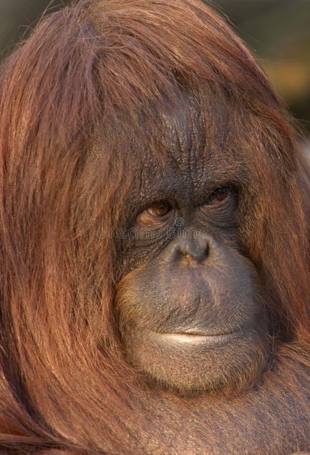 Download Endangered Oragutan stock photo. Image of hair, arboreal - 2420326