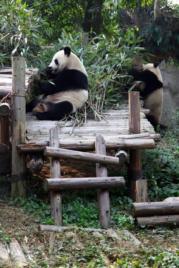 Endangered panda eating bamboo stock photography