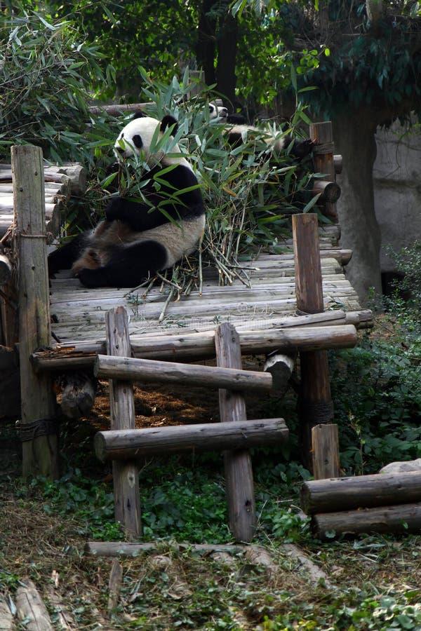 Endangered panda eating bamboo royalty free stock images