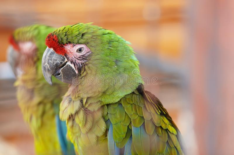 Great green macaw, Ara ambiguus, also known as Buffon`s macaw. Endangered parrot, Great green macaw, Ara ambiguus, also known as Buffon`s macaw royalty free stock photography