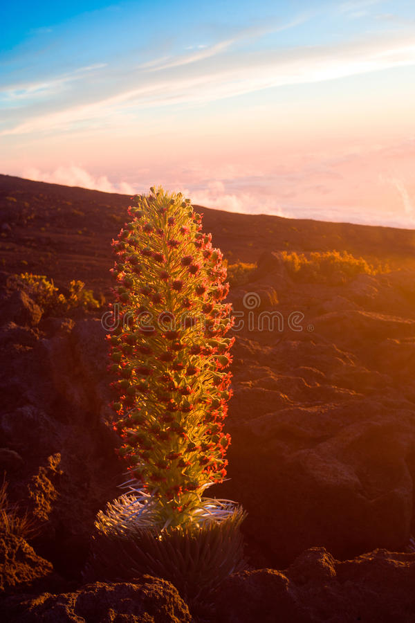 Free Endangered Plant Silversword Stock Photography - 16088062