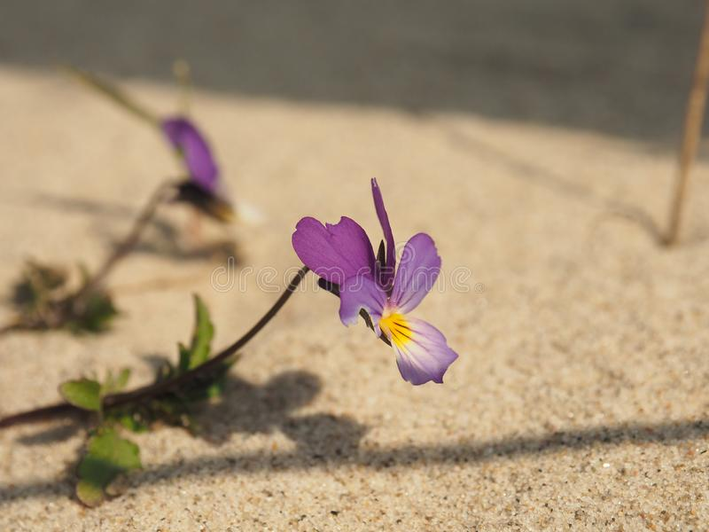 Endangered plant species Viola tricolor curtisii. Viola tricolor curtisii, Endangered plant species in the dune royalty free stock photo