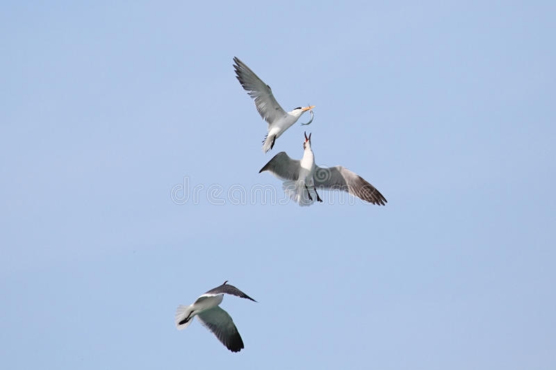 Download Endangered Royal Tern (Sterna Maxima) Stock Image - Image: 15021509
