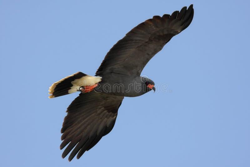 Download Endangered Snail Kite stock photo. Image of raptor, sociabilis - 8365830