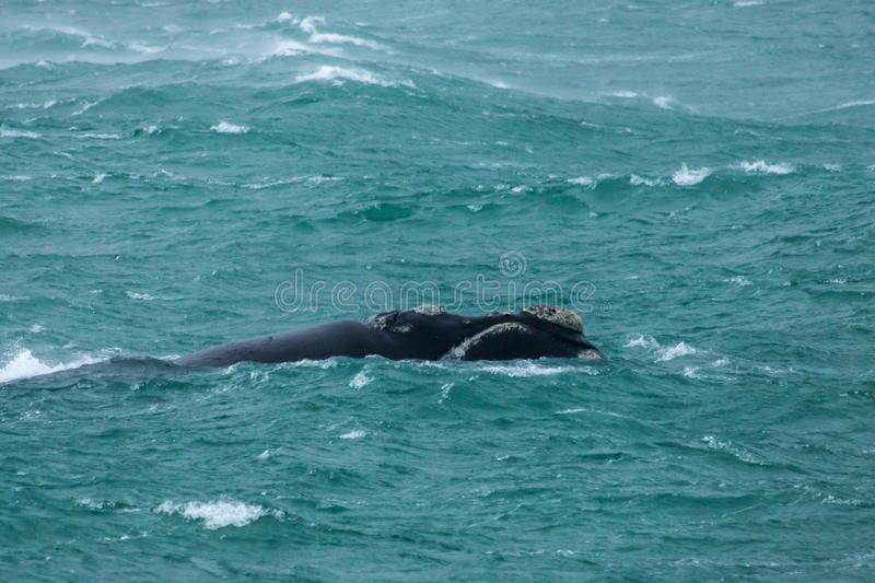 Southern Right Whale Head Above Storm Waves. stock photography
