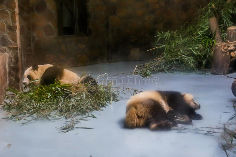 Giant Pandas at Wolong Nature Reserve, Chengdu, Sichuan Provence, China endangered species and protected. stock photo
