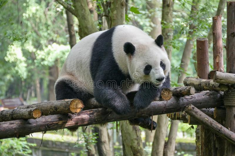 Giant Pandas at Wolong Nature Reserve, Chengdu, Sichuan Provence, China endangered species and protected. stock image