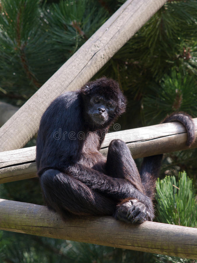 Endangered species of Sumatra Kloss Gibbon. Sitting and staring at the zoo royalty free stock photography
