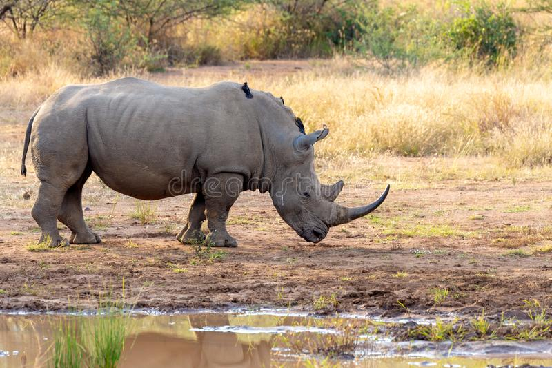 White rhinoceros Pilanesberg, South Africa safari wildlife. Endangered species of white rhinoceros on small water in Pilanesberg National Park & Game Reserve royalty free stock images