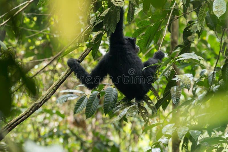 Endangered Sumatran lar gibbon Hylobates lar vestitus, in Gunung Leuser National Park, Sumatra, Indonesia. Endangered Sumatran lar gibbon Hylobates lar vestitus stock photos