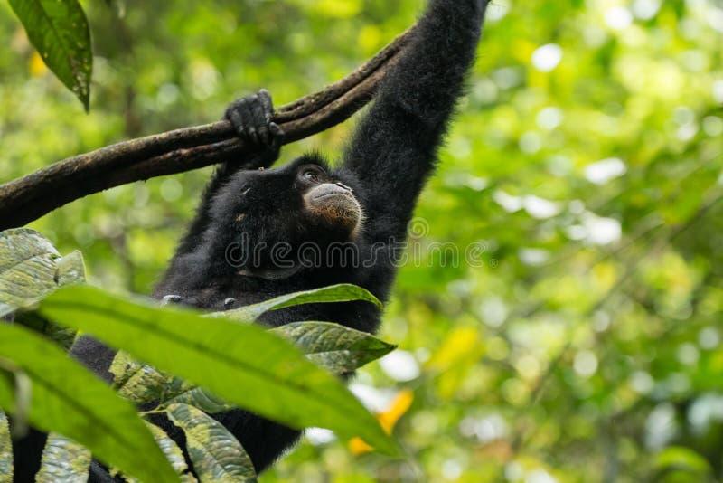 Endangered Sumatran lar gibbon Hylobates lar vestitus, in Gunung Leuser National Park, Sumatra, Indonesia. Endangered Sumatran lar gibbon Hylobates lar vestitus stock image