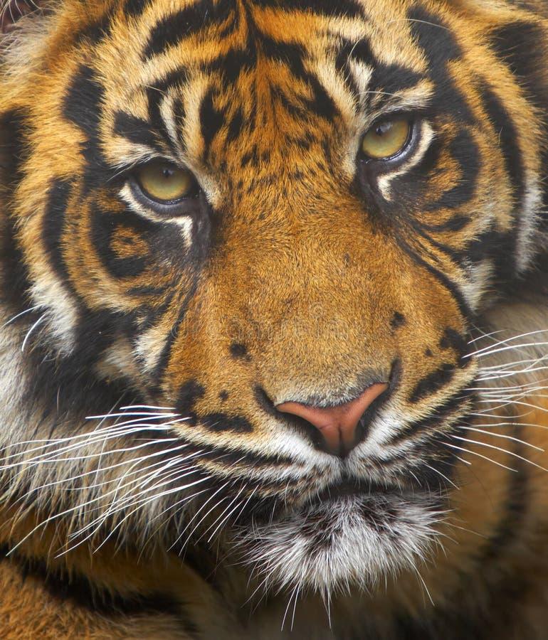 Endangered Sumatran Tiger royalty free stock photos