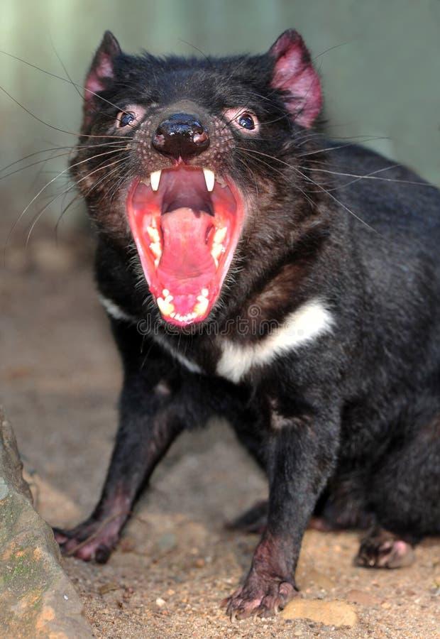 Free Endangered Tasmanian Devil Royalty Free Stock Images - 25807879