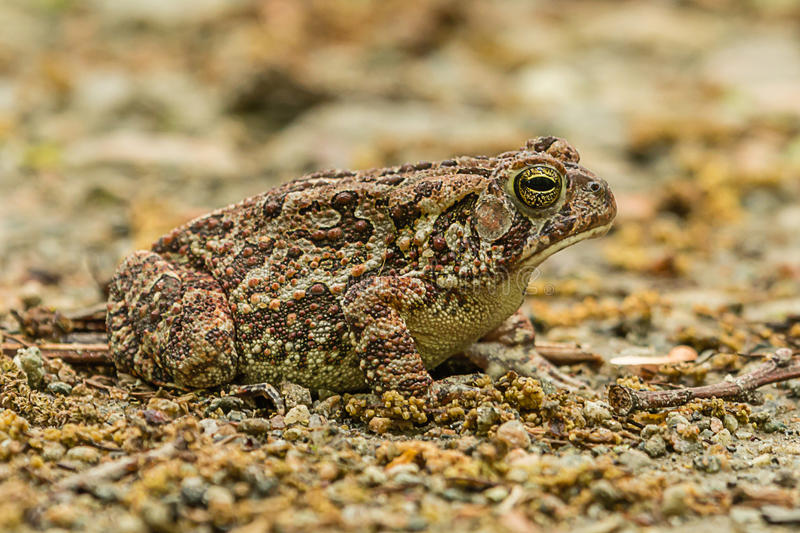 Endangered and Threatened Fowler`s Toad in dirt stock image