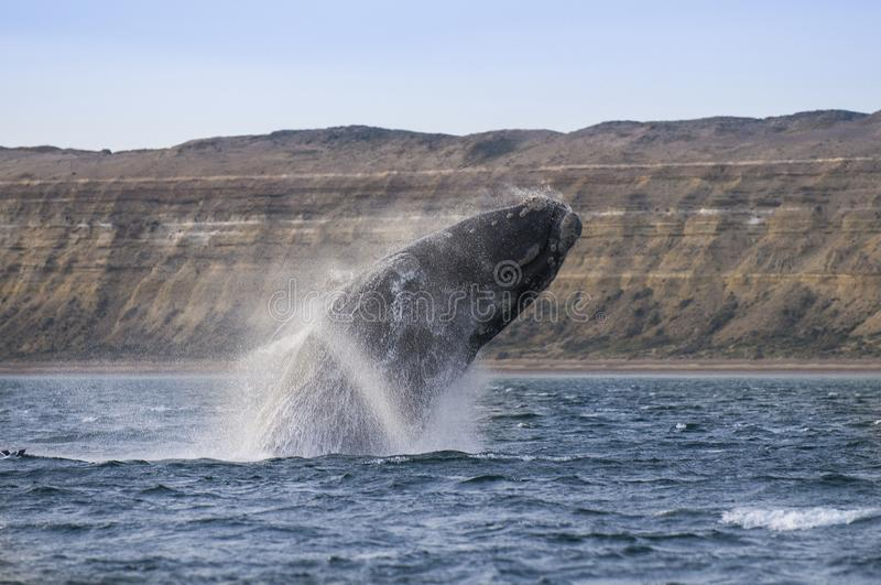 Endangered whale species, Patagonia. Argentina royalty free stock images