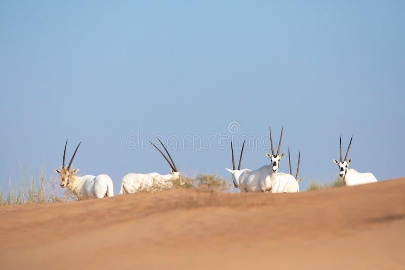 Endangered arabian oryx in desert landscape. royalty free stock photos
